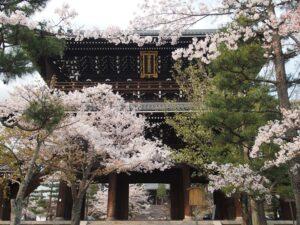 金戒光明寺山門前の桜
