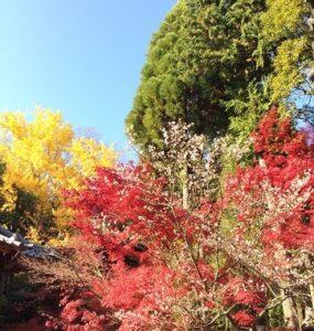 紅葉・寒桜・イチョウ