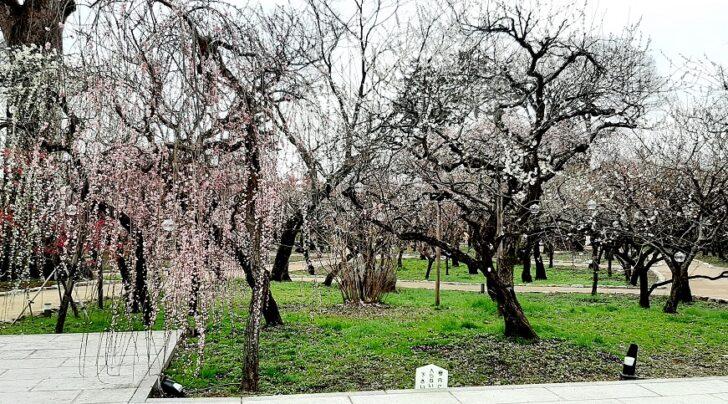 梅が見事に咲き誇る梅苑