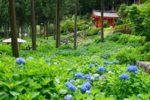 三室戸寺の見事な紫陽花