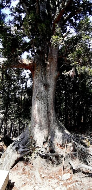 玉体杉の姿