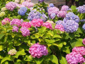 6月の京都は紫陽花が見ごろ