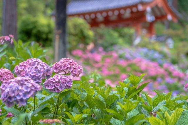 三室戸寺で見ごろを迎える紫陽花